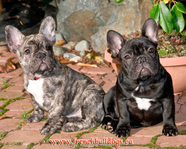 purebred french bulldog puppies - LeChateau's Maximus & LeChateau's Hot-n-Sassy